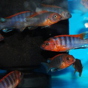 Labidochromis Hongi deluxe (German bred)